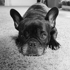 Eyes (Lainey1) Tags: bw monochrome oz ozzy dog frenchie bulldog lainey1 elainedudzinski frogdog zendog frenchbulldog ozzythefrenchie leica leicadlux4