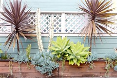 succulent planter aqua wall L1020809 (Lynn Friedman) Tags: 94117 nobody favstock succulents cactus wood planter whitefence bluewall outside
