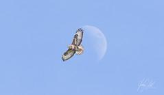 Timing... (AnthonyCNeill) Tags: buzzard buteobuteo bird birdofprey pajaro oiseau animal wildlife outdoor sky moon day inflight flying nationalgeographicwildlife