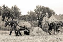 DSC_5298 5 (Ton van der Weerden) Tags: horses horse de cheval nederlands belges draft chevaux belgisch trait trekpaard trekpaarden