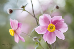 Anemones (Mandy Disher) Tags: pink summer macro beauty garden fresh anemones windflower japaneseanemones flowerphotography