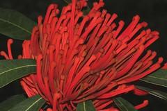 Alloxylon flammeum (andreas lambrianides) Tags: vulnerable proteaceae australianflora australiannativeplants alloxylonflammeum arfp australianrainforests australianrainforestplants pinksilky qrfp pinksilkyoak australianrainforestflowers arfflowers satinsilkyoak redarfflowers tropicalarf uplandarf satinoak orangetreewaratah satinsilky
