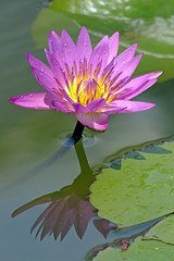 Water-Lily Reflection (brentflynn76) Tags: pink plant flower color colour reflection nature water flora waterlily lily lotus