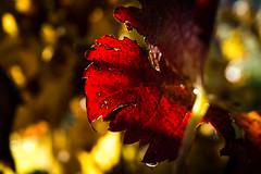 VIGNE (nicolaseudeline) Tags: autumn automne rouge foliage vigne feuille