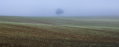 that Chisbury tree on a misty morning (Redheadwondering) Tags: morning autumn mist tree field misty landscape sigma crop wiltshire solitarytree newshoots sigma50mmdgmacro chisbury sonya850