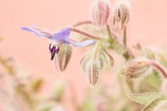 Etre fleur bleue... (Gisou68Fr) Tags: macro canon bokeh pastel boragoofficinalis bourrache efs60mmf28macrousm bourracheofficinale canoneos650d