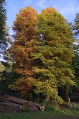 Partners (elhawk) Tags: autumn arboretum forestofdean dawnredwood metasequoiaglyptostroboides cyrilhartarboretum
