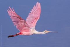 Roseate Spoonbill-5632-2 (dennis.zaebst) Tags: birds ngc npc 300 sanibel roseatespoonbill 50d naturethroughthelens darlingnwr