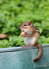Mr. Chipmunk (macaronikoek) Tags: usa animal eating chipmunk northamerica animaux dieren eten eekhoorn cheekpouch noordamerika wangzakeekhoorn
