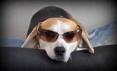 cool beagle (mark.abrams81) Tags: