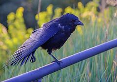 20150929-DSC_5083a (emr-foto) Tags: bird crow krhe corvidae rabenvogel singvogel