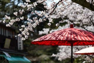 染井吉野 - 兼六園 / Kenroku-en Garden in Spring