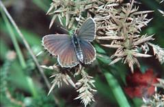 1986_63_27 (Clive Webber) Tags: lycaenidae plebejusargus silverstuddedblue