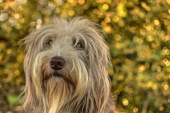 Beardie Bokeh (pogmomadra) Tags: autumn portrait hairy dog brown white animal wednesday gold blurry nikon dof paddy bokeh working canine shaggy beardie beardedcollie pogmothoin hbw happybokehwednesday d5300 choxxstart