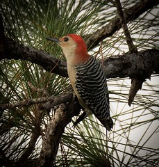 Red-bellied Woodpecker (DavidGuscottPhotography) Tags: birds woodpecker florida everglades redbelliedwoodpecker