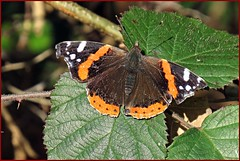 Red admiral,wintering adult. (postman.pete) Tags: park blue autumn red wild england sky lake black flower heron leaves canon fire pod squirrel tit jay berries head gull web moth feeder starling fungi ladybird magpie clover tri admiral essex harlequin caeruleus cyanistes dec4