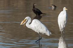 Big Catch (utski7) Tags: arizona fish bird wildlife gilbert catch swallow egret riparianpreserve