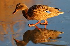 IMG_0729 (Yorkshire Pics) Tags: birds wildlife britishbirds mallard birdsonice ice frozen reflections birdreflections duck fairburnings fairburningsnaturereserve rspbfairburnings