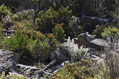 WARATAH & STONE - BOXING DAY 2016 (Rose Frankcombe) Tags: naturalgarden scree flora centralhighlands tasmania australia rosefrankcombe