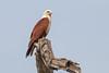 Milano Brahmán (ik_kil) Tags: milanobrahmán brahminykite haliasturindus zuaririver goa birdsofindia birds kite raptor india