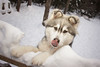 Lil Floofers (keithj5000) Tags: husky siberian wooly dog snow winter