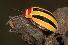 Leaf Beetle - Kuschelina floridana, Okaloacoochee Slough State Forest, Felda, Florida (judygva) Tags: kuschelinafloridana okaloacoocheesloughstateforest leafbeetle