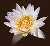 _1212387 (5816OL) Tags: waterlilies flowers dad