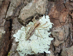 Liking the Lichen (tessab101) Tags: salticid salticidae jumping blue mountains nsw australia spider spiders arachnids arthropods