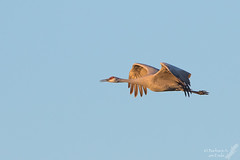 Yep, it's NM in winter, so it's Sandhill Crane time! (Squirrel Girl cbk) Tags: 2016 bosquedelapachenwr newmexico november sandhillcrane gruscanadensis bif bird explore