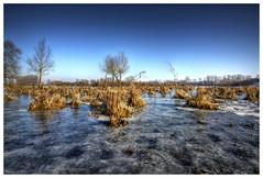 "Careful walk on ice surrounded with some marsh plants at ""De Blauwe Kamer"" between Rhenen and Wageningen (NL) (Smarron) Tags: de blauwe kamer wageningen rhenen steenfabriek ijs natuur nikon d750 sigma 1735mm hdr winter"