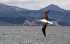Northern royal albatross,( Diomedea sanfordi,) (Bernard Spragg) Tags: northernroyalalbatross dunedin lumixfz1000 nature seabirds newzealandbirds bird flying