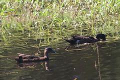 Chestnut Teals | @ Birrurung Park, Melbourne (natalia.bird_nerd) Tags: birds waterbirds wetlandbirds ducks teals chestnutteals birrarungpark lowertemplestowe melbourne australia