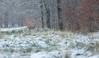 Petite chute de neige (Eric Penet) Tags: chevreuil cervidé chevrette france forêt hiver neige nature wildlife wild janvier roe roedeer femelle nord froid faune forest mormal locquignol avesnois mammifère mammal