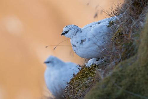 Alpenschneehuhn (Lagopus muta) 16017