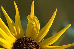 Happy New Year from the Sunflower State (NaturalLight) Tags: commonsunflower sunflower fingerscrossed chisholmcreekpark wichita kansas