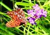 gulf fritillary feeding on prairie verbena at Kickapoo Cavern SP TX 854A1287 (lreis_naturalist) Tags: gulf fritillary butterfly nectaring prairie verbena kickapoo cavern state park texas larry reis