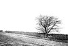 A Lone Tree In The Rolling Cotswolds Countryside (Peter Greenway) Tags: winter lonetree landscape england walk cotswolds countryside tree stonewall thecotswolds outwalking fields