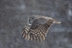 On a Mission (Peter Stahl Photography) Tags: ggo greatgreyowl owl snow winter evening outside cold
