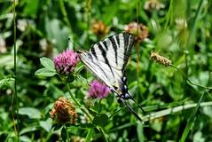Tiger Butterfly( Papilio glaucus ) Iphiclides podalirius Scarce swallowtail Лястовичеопашата тигрова пеперуда DSC_0784 (Me now0) Tags: tigerbutterfly papilioglaucus iphiclidespodalirius лястовичеопашататигровапеперуда scarceswallowtail summer nikond5300 basiclens park europe 1855mmf3556 насекомо никонд5300 китовобектив юженпарк софиябългарияевропа лято wildredclover детелина