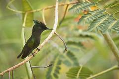 Antillean Crested Hummingbird (ronmcmanus1) Tags: antigua bird nature outdoors wildlife jollyharbour stmarysparish antiguabarbuda
