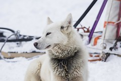 Snowdog (• Julien Laroche) Tags: chien dog husky race neige snow froid traineau couleur blanc white color animal animaux animals jlaphotographie sonyalpha colombier seyssel ain fetedelaneige grandcolombier huskies huskie