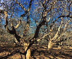 Plumeria grove in winter (Remember To Breathe) Tags: plumeriatree winter barebranches branches botanicalgarden oahu hawaii tree kokocrater