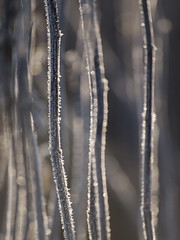 Prison de givre **--- ° (Titole) Tags: frost stems frosted titole nicolefaton grey shallowdof light backlit bokeh friendlychallanges thechallengefactory unanimouswinner