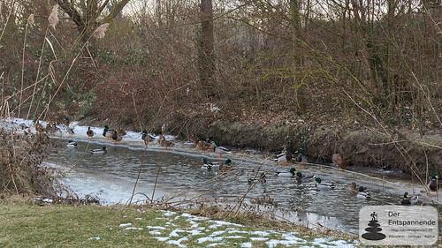 Enten auf der zugefrorenen Selz bei Selzen