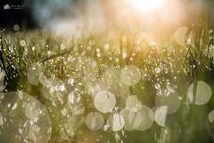 Diamonds... (Kerriemeister) Tags: dew wet drops morning diamonds sparkle fulford york tamron macro bokeh nikond5200 light
