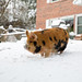 Kune Kune Pigs in the Snow-3