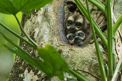 Panamanian Night Monkey (Aotus zonalis) (Hamilton Images) Tags: panamaniannightmonkey aotuszonalis monkey nocturnal mammal fur tropicalforest canopytower panama centralamerica canon 7dmarkii 500mm february 2017 img7831