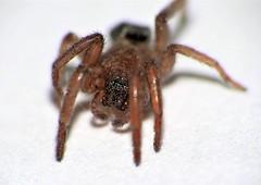 little Spider - kleine Spinne (Rolf Brecher) Tags: lumixfz2000 dmcfz2000 macro closeup raynox250 spinne spider extrememacro nahaufnahme macroaufnahme fz2000