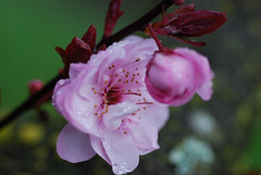 Plum_20170304_1 (faeparsons) Tags: flowers blossoms plumblossoms