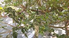 Gusano soldado (antoniocastro13) Tags: gusano soldadospodoptera exigua spodoptera